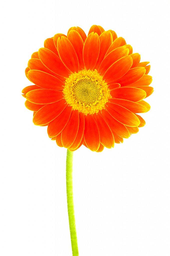 Vertical Flower in studio